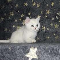 Котенок британец драгоценного окраса BRI ns11, в Новосибирске