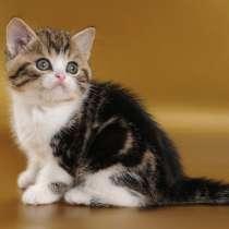 Продам страйта фолда шотландских котят, в г.Херсон