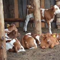 Коровы бычки телята Сахалин, в Южно-Сахалинске