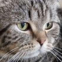 Шотландский кот, в г.Кишинёв