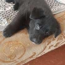 Продаются чистопородные щенки черной немецкой овчарки, в Приморске