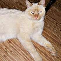 Тайский котик с голубыми глазами, в Улан-Удэ