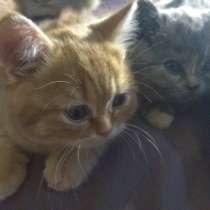 Котята британские, в Перми