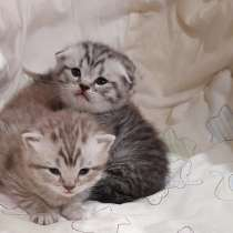 Продаются Шотландские вислоухие котята, в Александрове