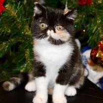 Продаётся котёнок (девочка), экзот, питомник SOLNYSHKO, в Пскове