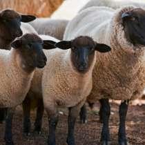 Племенные овцы Суффолк (Скот из Европы класса Элита), в г.Ереван