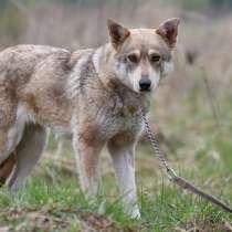 Марго - собака с внешностью волка ищет дом, в Москве