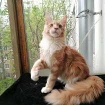 Мейн-кун котик 5 мес. Окрас кремовый, в Москве
