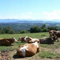 Коровы бычки телята калуге, в Калуге