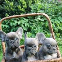 Продаются щенки французского бульдога, в Калининграде