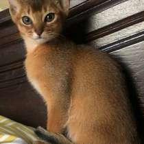 Абиссинские котята!, в г.Бельцы