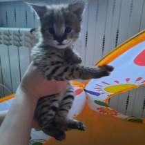 Котёнок сервала, в г.Лиепая