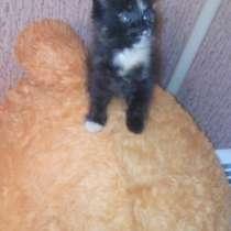 Подарю сибирского котенка1 месяц, в Красноярске