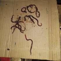Продаю червя!, в Волгограде