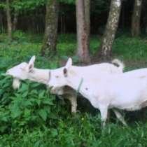 Зааненские козы и козлята, в Москве