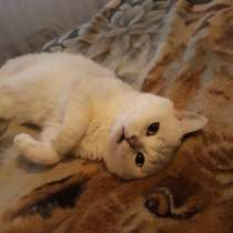 Шиншиловый кот на вязку, в Екатеринбурге