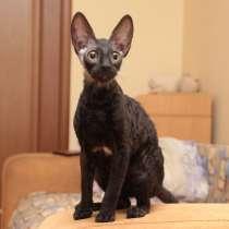 Красивые котята корниш рекс, в Москве