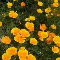 Продам цветы жёлтый свет, в Мариинске