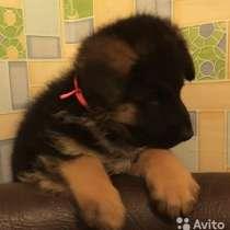 Продам щенков немецкой овчарки!, в Перми