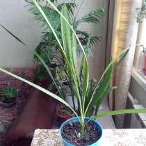 Финиковая пальма г. Долгопрудный, в Долгопрудном