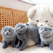 Очаровательные Шотландские вислоухие котята, в г.Гродно