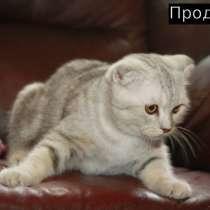 Шотландские котята мрамор и черепашка, в Москве