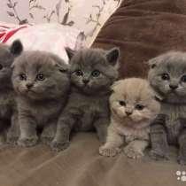 Котятки шотландские, в Тольятти