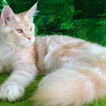 Мейн кун котенок, в Ярославле