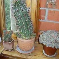 Кактус большой 30 см. с горшочком цветет два-три раза в год, в Троицке