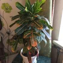 Продам комнатное растение Кодиеум Вилма высотой 70 см, в Санкт-Петербурге