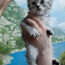 Британские котята, в Подольске