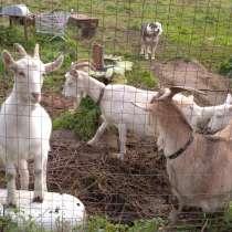 Продам мутных коз, в Санкт-Петербурге