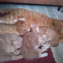 Котятенок девочка, мальчик, рыжий, молочный, в Тюмени
