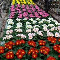 Цветы к 8 марта: нарциссы, крокусы, гиацинты, примулы, в г.Минск