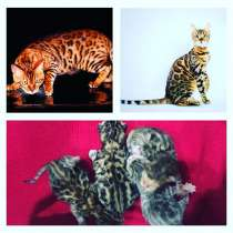 Бенгальские котята, в Абинске