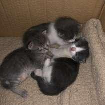 Продам троих пушистых котят!, в г.El Masnou