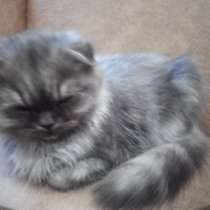 Шотландские котята, в Тихвине