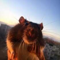 Крысята, в Вологде