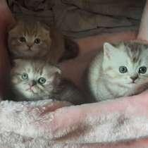 Шотландские котята, в г.Могилёв