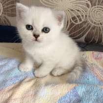 Британский котенок шоу класса серебристая шиншилла, в Москве