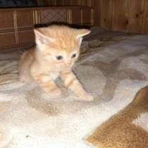 Котята от породистой кошки невской маскарадной, в Раменское