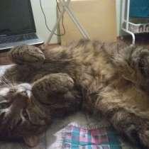 Безумно ласковый и большой кот, в Санкт-Петербурге