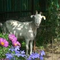 Продаем домашнее козье молоко, в г.Алматы