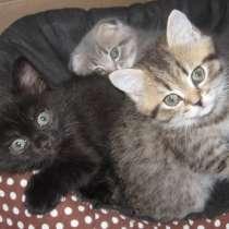 Продаю шотландских прямоухих котиков, в Набережных Челнах