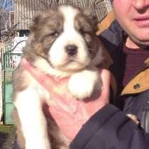 Продаются щенки алабая, в г.Кишинёв