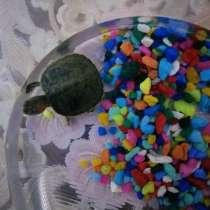 Продам красноухих черепах, в Батайске