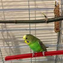 Продам попугая, в Магнитогорске