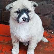 Прелестный щенок, в Новошахтинске