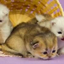 Шотландские котята в драгоценных окрасах, в Уфе