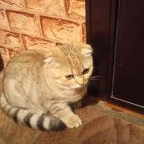 Продаю котёнка скоттиш фолд шотландская вислоухая, в Воронеже